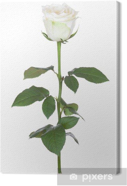 Obraz na płótnie Single White Rose - Tematy