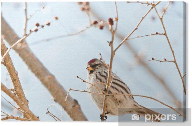 Obraz na płótnie Sizerin Flamme - Ptaki
