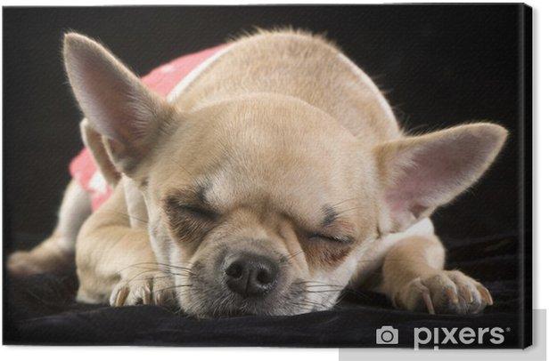 Obraz na płótnie Sleeping chihuahua na czarno - Szczęście