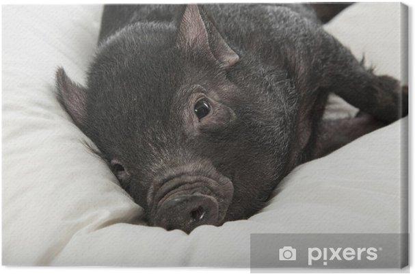 Obraz na płótnie Śliczny kłamstwem czarna świnia na białym poduszkę - Ssaki