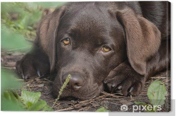 Obraz na płótnie Słodkie samotny brązowy labrador szczeniak - Ssaki