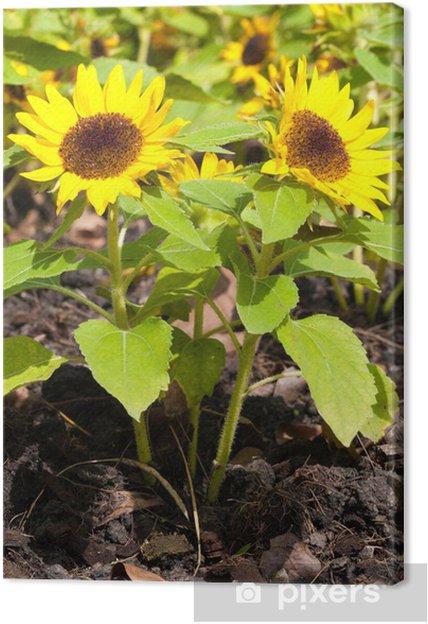 Obraz na płótnie Słonecznik - Kwiaty