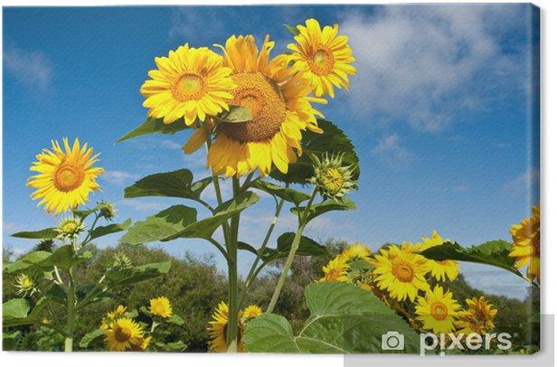 Obraz na płótnie Słoneczniki - Pory roku