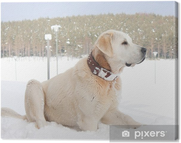 Obraz na płótnie Słynny turecki pies rasy Kangal - Ssaki