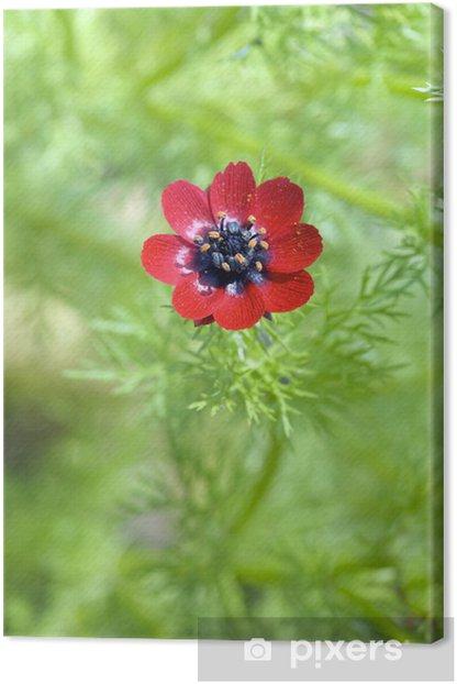 Obraz na płótnie Sommeradonis, Adonis aestivalis - Kwiaty