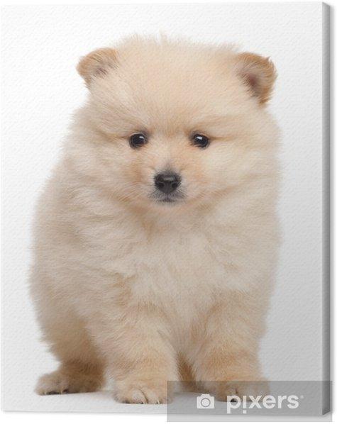 Obraz na płótnie Spitz puppy, 2 miesiące, siedzący z przodu białe tło - Ssaki