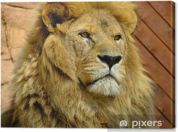 Obraz na płótnie Stary samiec lwa (Panthera leo) - Ssaki