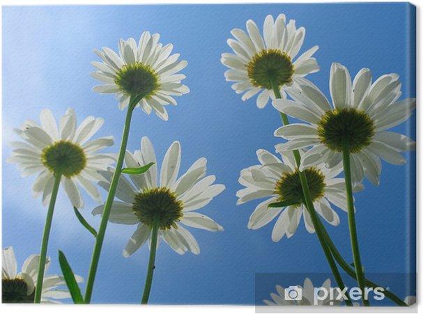 Obraz na płótnie Stokrotka - Kwiaty