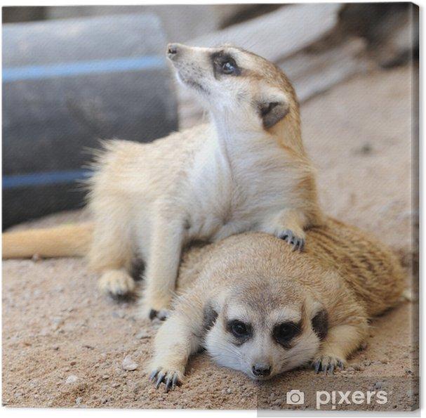 Obraz na płótnie Surykatka lub suricate, dzikie zwierzę w akcji. - Ssaki
