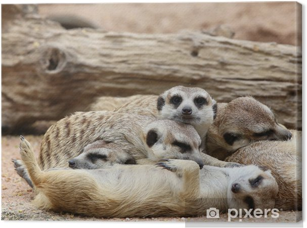 Obraz na płótnie Surykatki śpiące - Ssaki