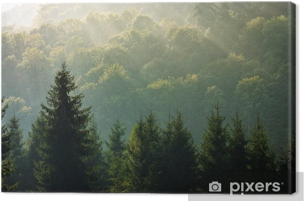 Obraz na płótnie Świerk las na mglisty wschód słońca w górach - Krajobrazy