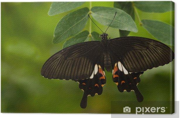 Obraz na płótnie Świetne Mormon butterfly - Tematy