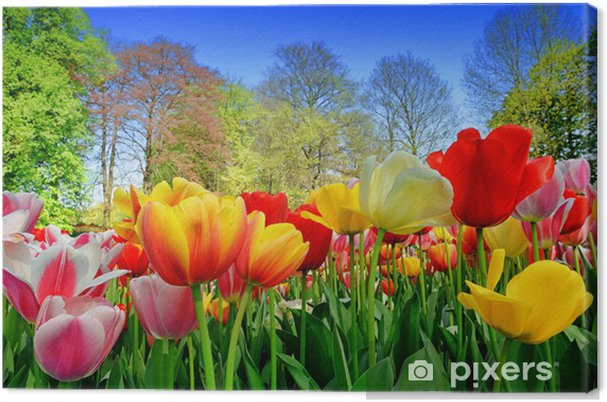 Obraz na płótnie Świeże wielobarwne tulipany - Kwiaty