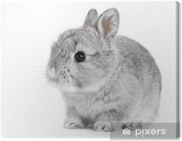 Obraz na płótnie Szary dziecko królik na białym tle - Króliki