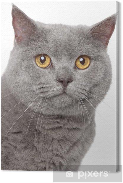 Obraz na płótnie Szary kot brytyjski - Ssaki