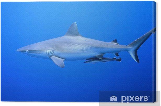 Obraz na płótnie Szary Shark Reef z Suckerfish - Zwierzęta żyjące pod wodą