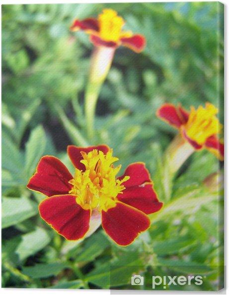 Obraz na płótnie Tagetes - Kwiaty