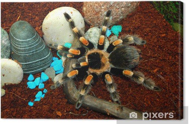Obraz na płótnie Tarantula Cleopatra - Inne Inne