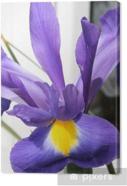 Obraz na płótnie Tęczówki purpurowy - Kwiaty