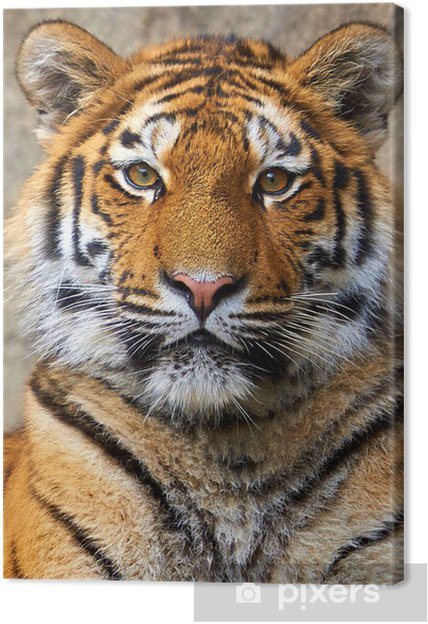 Obraz na płótnie Tiger twarz z bliska - Tematy