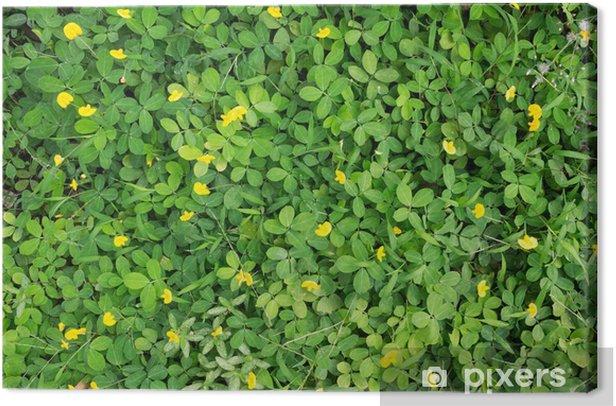 Obraz na płótnie Top Peanut plant - Rośliny