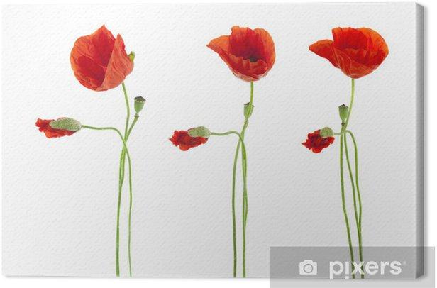 Obraz na płótnie Trio Czerwone maki kwiaty samodzielnie na białym tle - iStaging