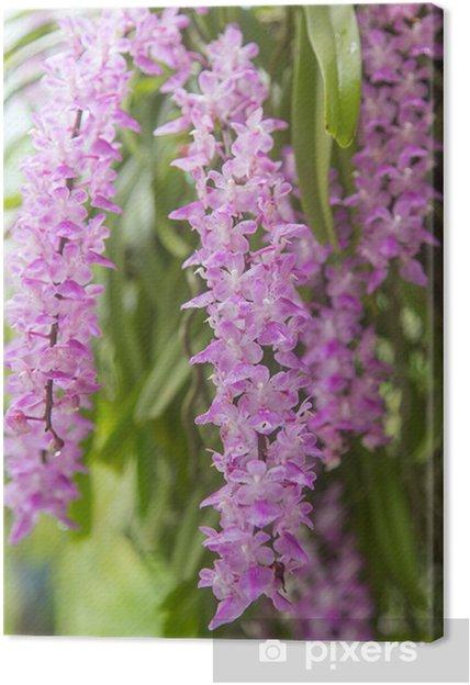Obraz na płótnie Tropikalny kwiat orchidei (Aerides Roxb multiflora) kwitną - Kwiaty