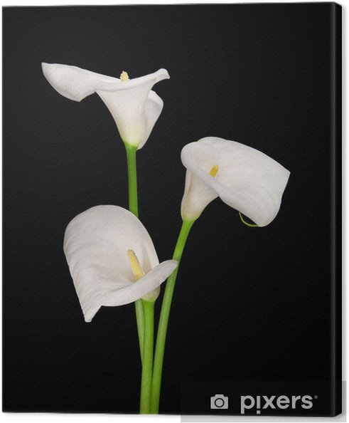 Obraz na płótnie Trzy białe lilie Calla odizolowane na czarno - Kwiaty