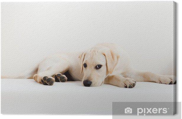 Obraz na płótnie Uroczy labrador pies - Ssaki