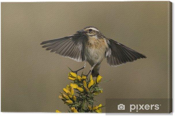 Obraz na płótnie Whinchat, Saxicola rubetra - Ptaki