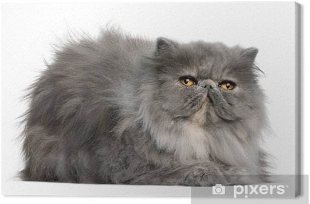 Obraz na płótnie Widok z boku kot perski, leżąc i patrząc w górę - Ssaki