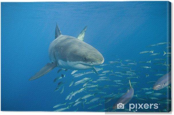 Obraz na płótnie Wielki biały rekin - Zwierzęta żyjące pod wodą