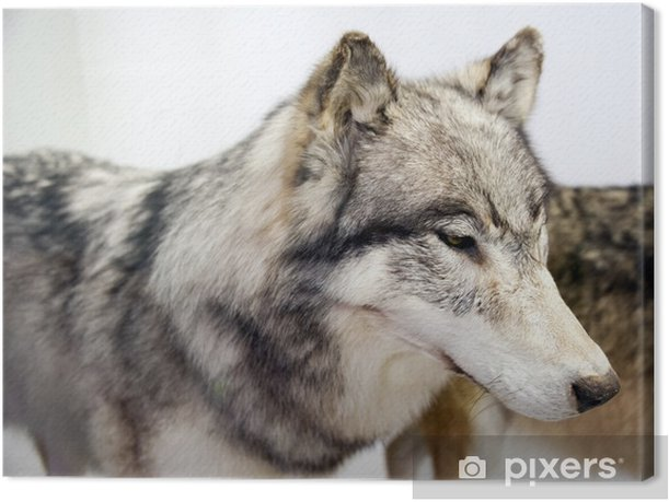 Obraz na płótnie Wilk - Ssaki