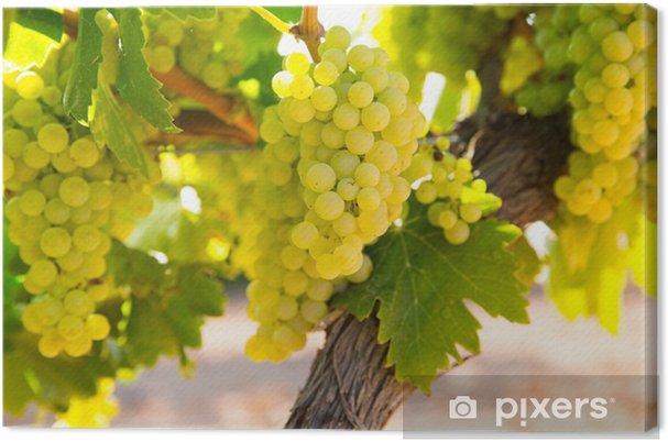 Obraz na płótnie Winogron chardonnay wina w winnicy raw gotowe do zbioru - Rolnictwo
