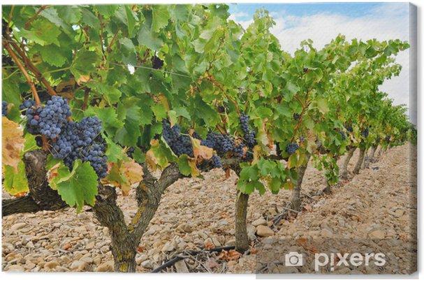 Obraz na płótnie Winogrona w winnicy, Rioja (Hiszpania) - Tematy