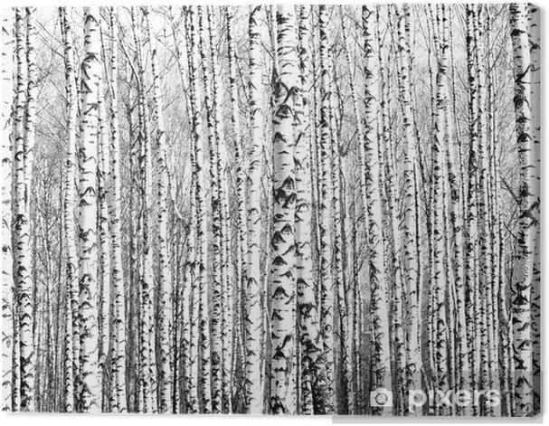 Obraz na płótnie Wiosenne pnie brzozy czerni i bieli - Style