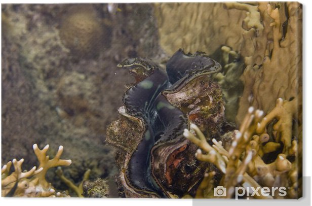 Obraz na płótnie Wspólne olbrzym milczek (Tridacna maxima) - Criteo