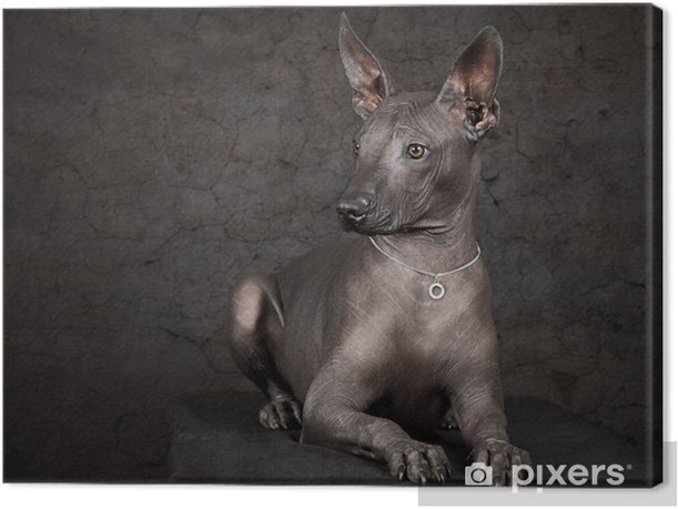 Obraz na płótnie Xolo. Meksykański bezwłosy pies - Ssaki