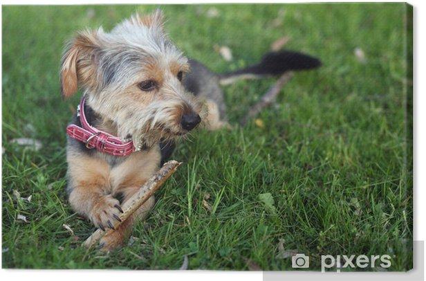 Obraz na płótnie Yorkshire Terrier Jamnik Mix - Ssaki