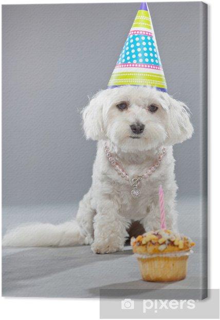 Obraz na płótnie Zabawna pies urodziny maltański z ciastem i kapelusz. Studio strzał. - Świętowanie