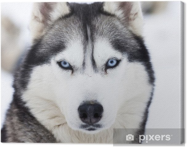 Obraz na płótnie Zamknąć się na niebieskich oczach husky - Husky