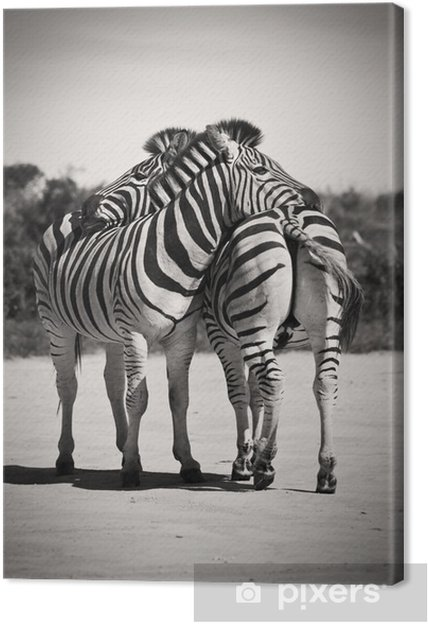 Obraz na płótnie Zebra miłość - Zebry