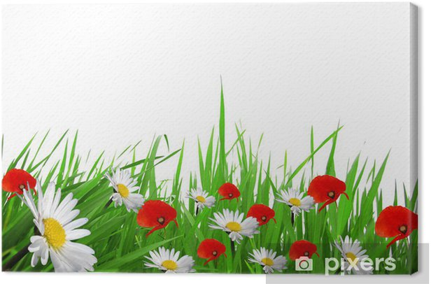 Obraz na płótnie Zielona trawa z białych stokrotek i czerwone maki - Dom i ogród