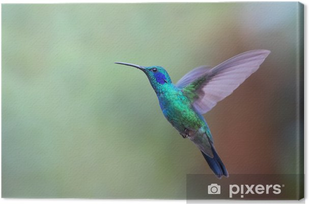 Obraz na płótnie Zielona Violetear koliber w locie w Kostaryce - Zwierzęta