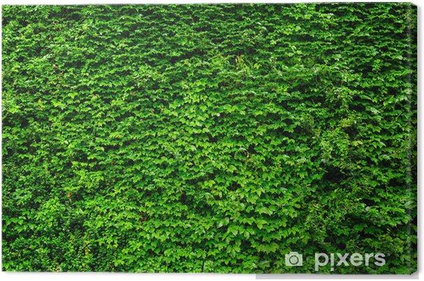 Obraz na płótnie Zielony bluszcz wall. - Krajobraz wiejski