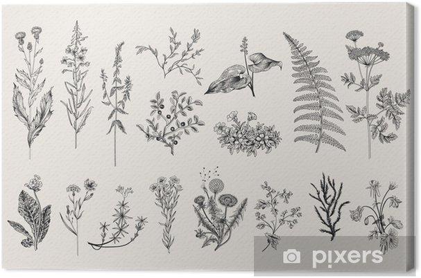 Obraz na płótnie Ziół i dzikich kwiatów. Botanika. Zestaw. Vintage kwiaty. Czarno-białych ilustracji w stylu rycin. - Kwiaty