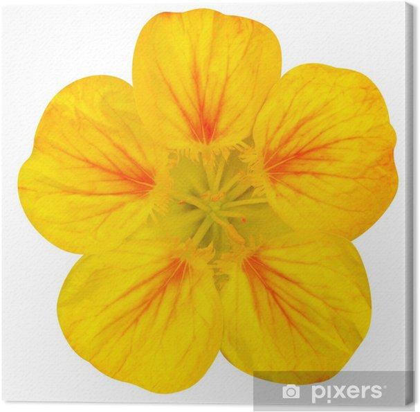 Obraz na płótnie Żółty kwiat nasturcji Pojedynczo na Bia? - Kwiaty