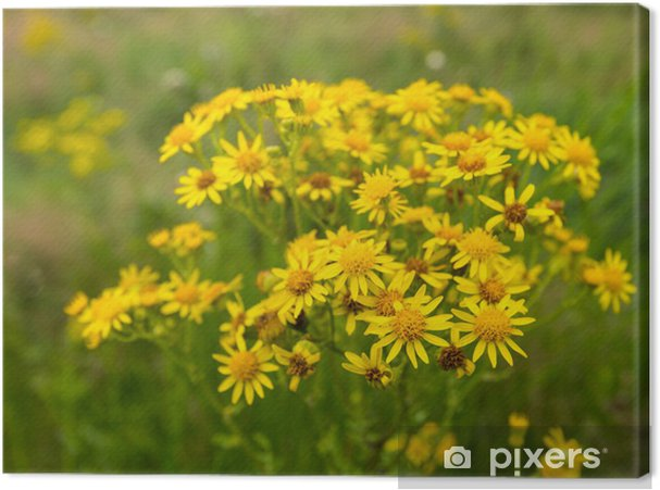 Obraz na płótnie Żółty kwitnienia starzec - Pory roku