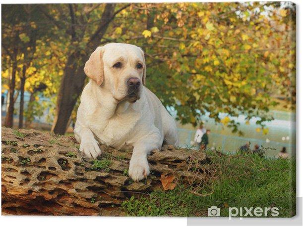 Obraz na płótnie Żółty labrador jesienią - Ssaki