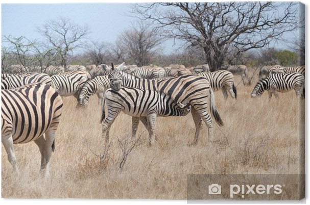 Obraz na płótnie Źrebię zebry karmienia - Tematy
